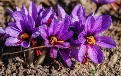 saffron-1136778_1920-400x250